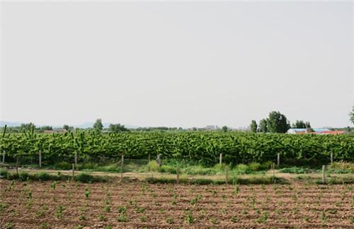 黑珍珠樱桃苗-青州市黑珍珠樱桃苗-寿光市黑珍珠樱桃苗