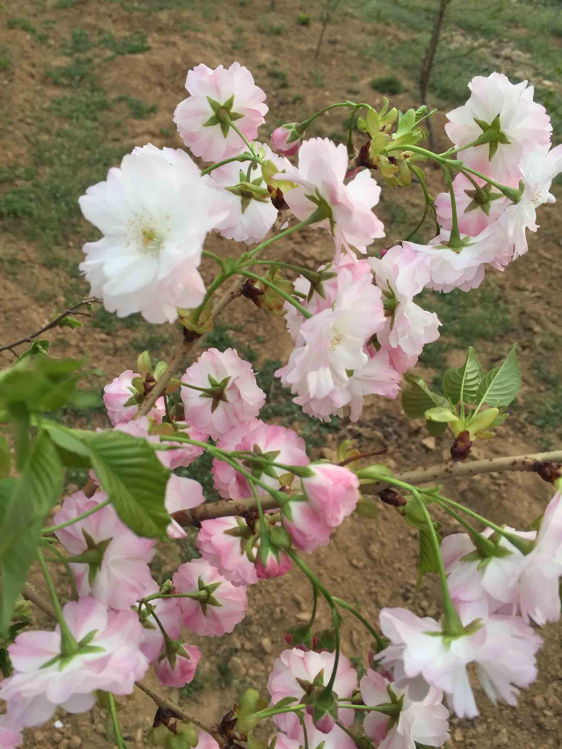 哪里购买一叶樱-一叶樱花苗的价格-一叶樱花苗哪里有