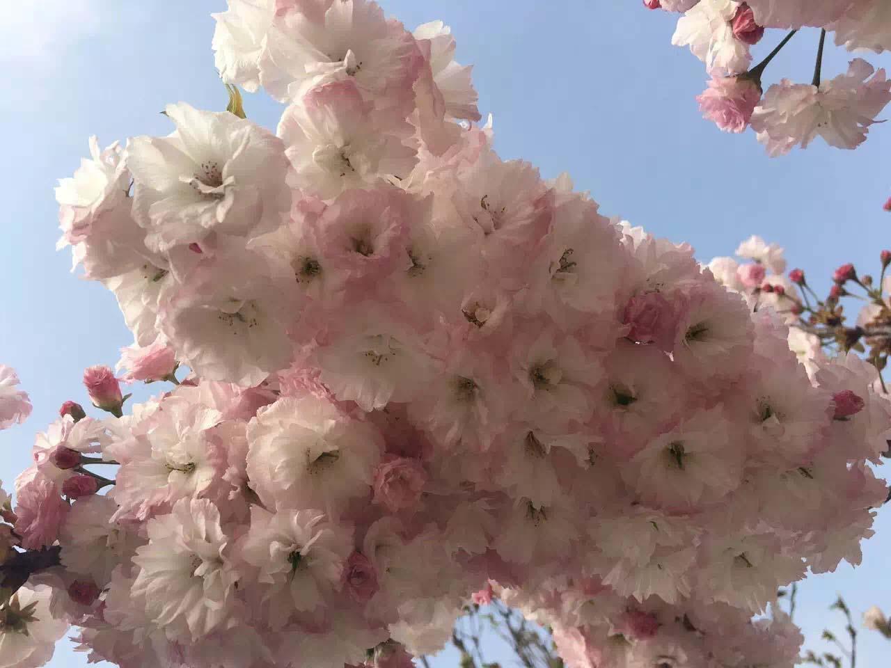 哪里卖品种樱花-绿樱花树苗培育基地-绿樱花树苗价格多少