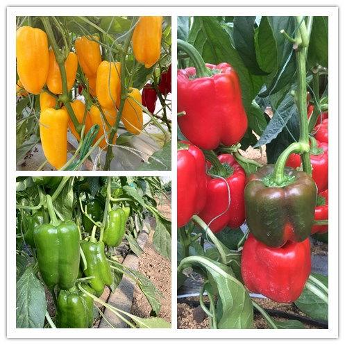 河北越冬五彩椒批发-优良的绿方椒种子哪里有供应