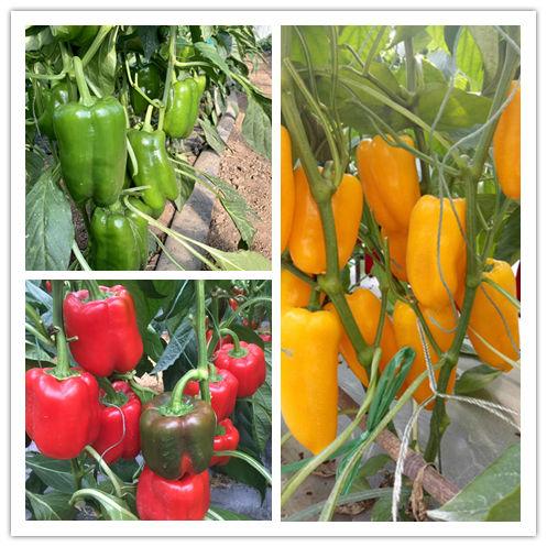 黄彩椒-声誉好的绿方椒种子公司