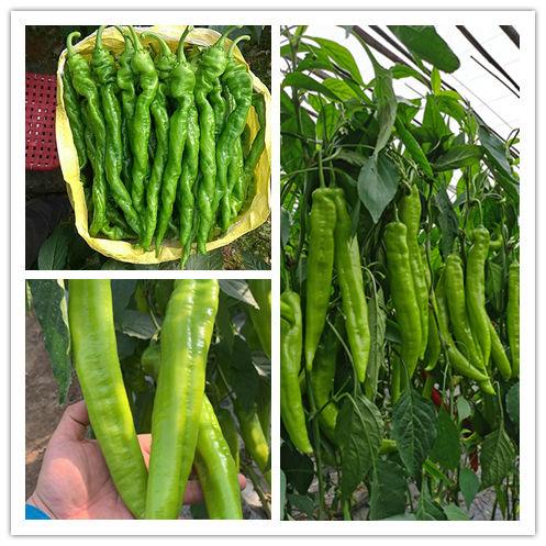 河北耐寒尖椒种子-潍坊市有品质的尖椒种子哪里有供应