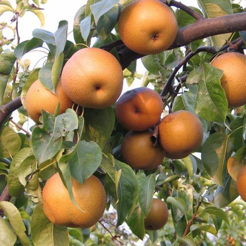 河南早红玉梨|硕果苗木种植合作社_优良果树苗供应商
