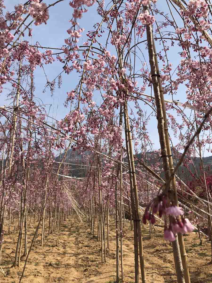 枝垂櫻花苗-什么地方銷售八重紅垂枝櫻花小苗