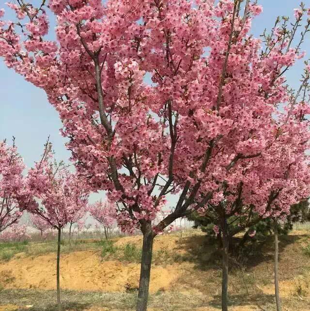 高桿陽光櫻花樹苗多少錢一株|品種好的陽光櫻花推薦