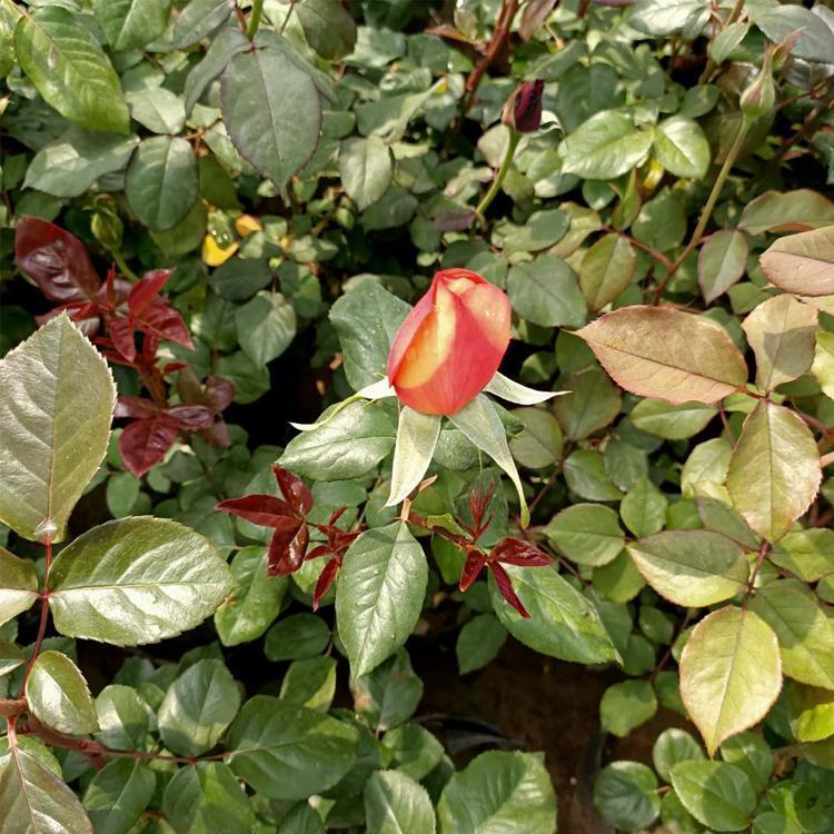 品种月季批发|来森陌花卉,买划算的品种月季