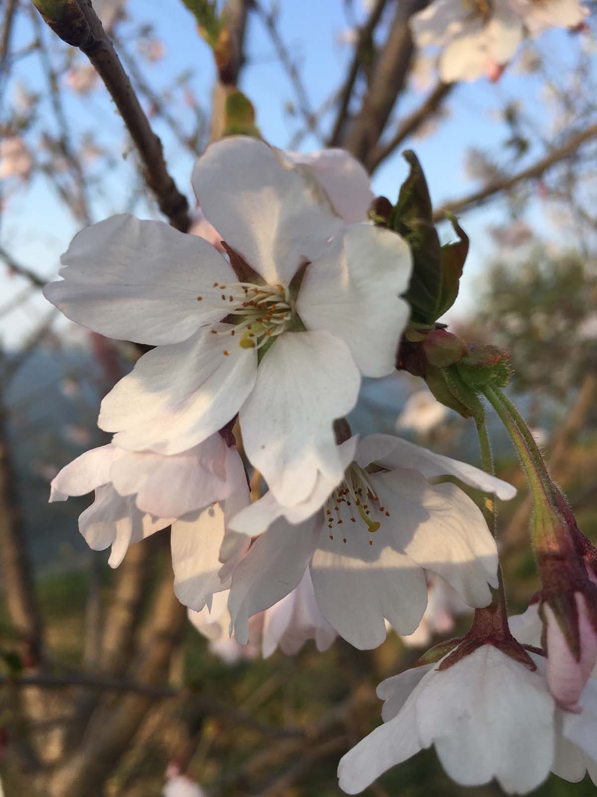 大岛樱树苗价格多少-大岛樱花哪里价格低-大岛樱花市场前景