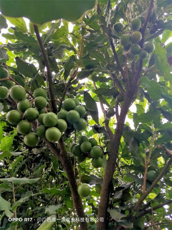 广西坚果树-在哪能买到易成活的坚果苗