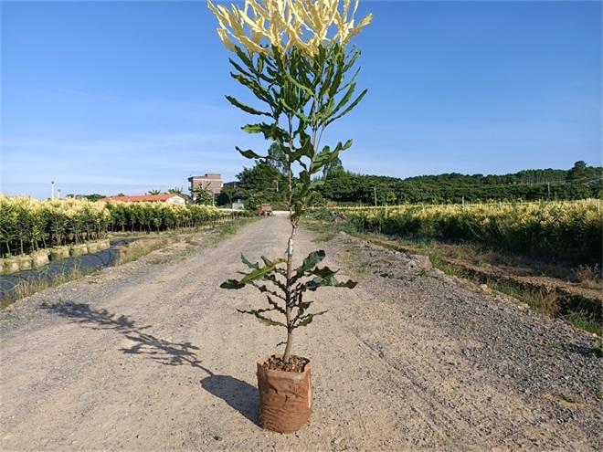 澳洲坚果苗种植,广西夏威夷果苗