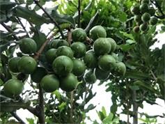 澳洲坚果树批发|优育的澳洲坚果苗桂热一号出售