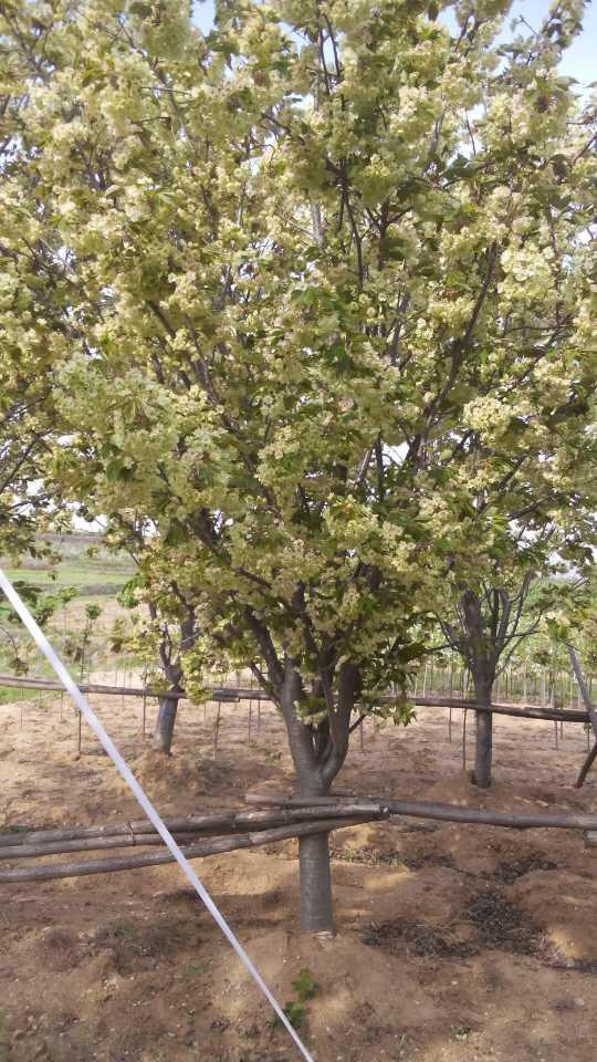 什么地方銷售高桿晚櫻-高桿櫻花種植基地-高桿櫻花小苗價格