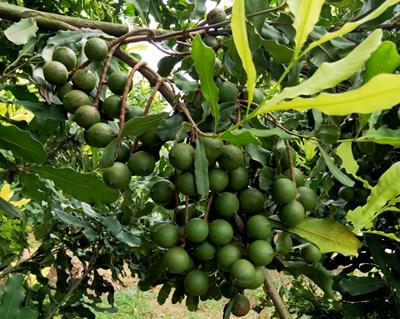 广西坚果苗批发,澳洲坚果苗种植基地