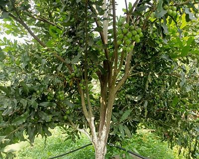 广西夏威夷果种植基地-好种植的广西澳洲坚果苗广西澳一澳农业科技
