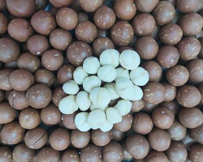 澳洲坚果苗基地直供,澳洲坚果苗种植场
