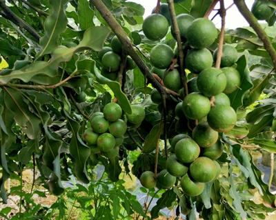 南宁澳洲坚果苗桂热一号种植基地-南宁澳洲坚果苗桂热一号