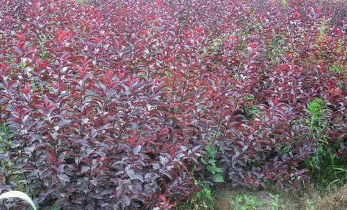 紫叶矮樱供应,紫叶矮樱哪里有,紫叶矮樱种植