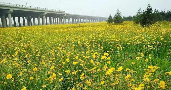 【诚意满满】金鸡菊种植基地,金鸡菊供应商,浩峰
