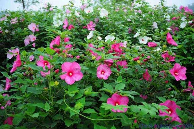 大花秋葵,大花秋葵基地,大花秋葵种植基地