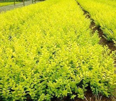 绿叶水蜡产地|潍坊优良的金叶水蜡厂家