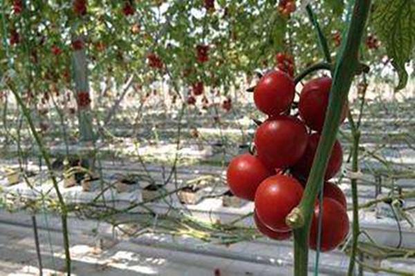 銀川椰糠栽培價格-北京椰糠西紅柿加盟-北京椰糠西紅柿批發