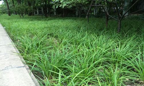 青绿苔草供应商/青绿苔草种植基地