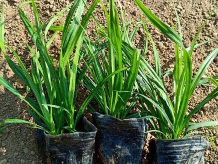 崂峪苔草供应商/崂峪苔草种植基地