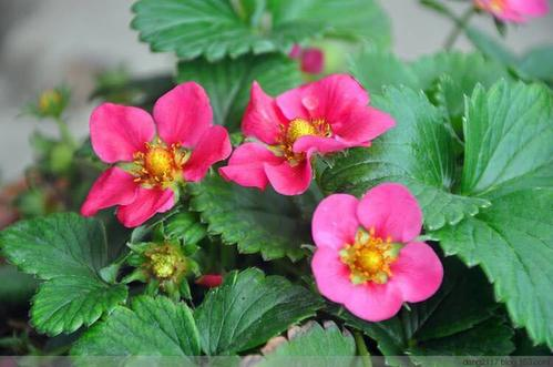 红花草莓小苗/红花草莓供应商