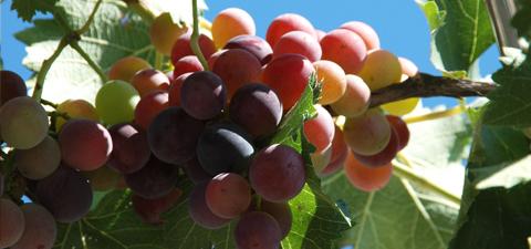 做山葡萄酒怎么做-小白山葡萄酒-雪欄山葡萄酒