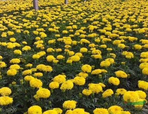 吉林国庆菊哪里有|优惠的国庆菊潍坊哪里有