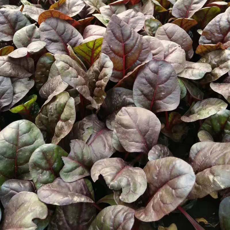 北京红叶甜菜-河北红叶甜菜小苗-河北红叶甜菜多少钱