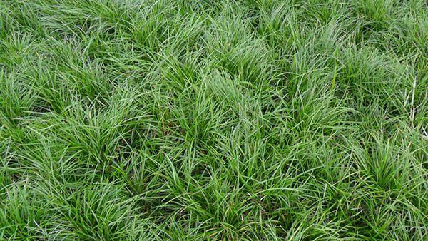 地栽麦冬供应-湖南地栽麦冬-湖北地栽麦冬