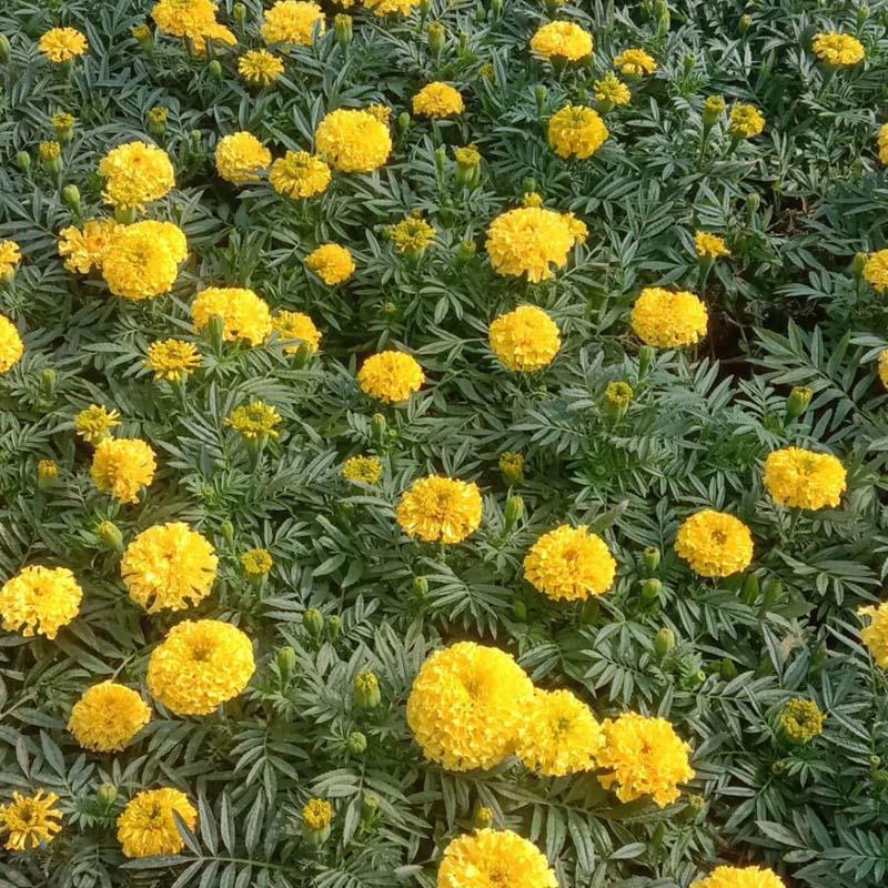 万寿菊种植基地-万寿菊基地