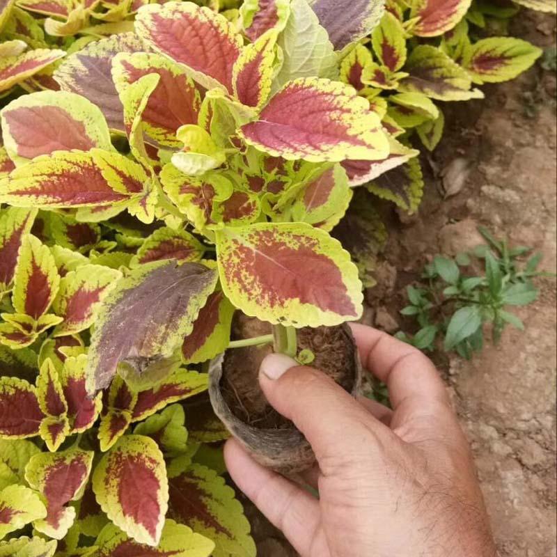 红彩叶草基地-黄彩叶草种植基地