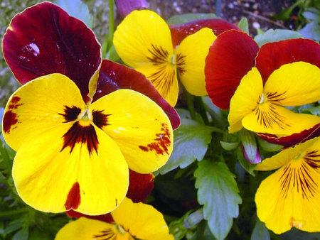 朵朵挂枝头:三色堇供货商,三色堇哪家好,三色堇出售
