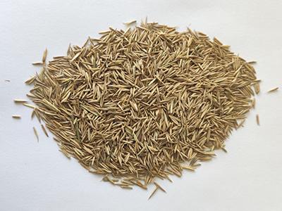 披碱草就选甘肃恒有农业科技发展有限公司_种子专业生产批发厂家