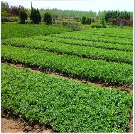 小区绿化苗哪里好,小区绿化苗供应商,小区绿化苗种植基地