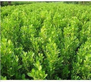 地栽黄杨哪家好,地栽黄杨出售,地栽黄杨基地