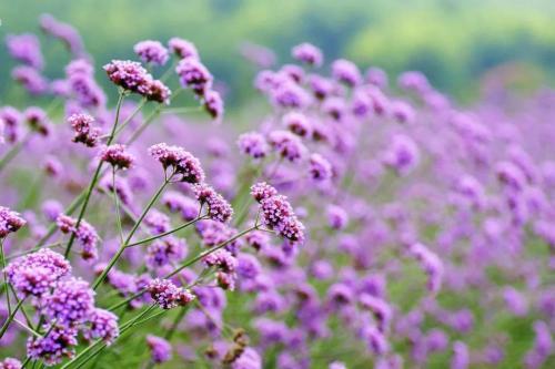 马鞭草——柳叶马鞭草