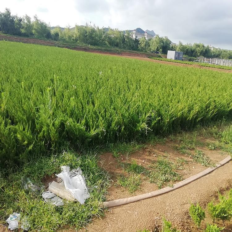 绿化工程苗基地-青州绿化工程苗-天津绿化工程苗