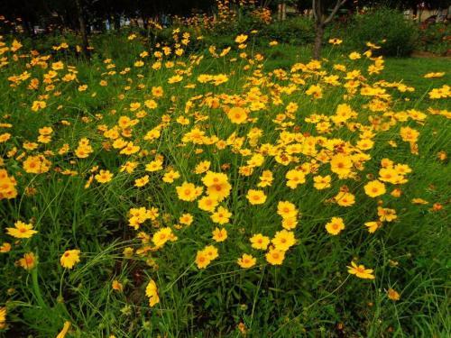 金鸡菊——金鸡菊小苗