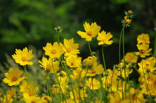 内蒙金鸡菊-山西金鸡菊种子-山西金鸡菊小苗