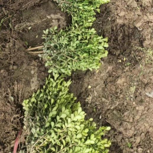 大叶黄杨批发商,大叶黄杨种植基地,大叶黄杨基地