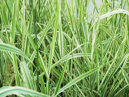 【红彤彤,品种全】玉带草穴盘苗+玉带草小苗+玉带草莳植基地