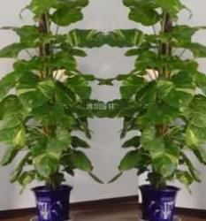 租赁盆景绿植-无锡花卉植物租赁-租摆大型植物