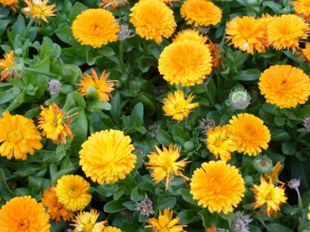 【惊喜就在一瞬间】金盏菊供应商,金盏菊种植基地