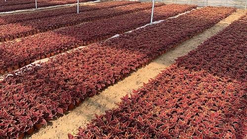 彩叶草营养钵,彩叶草杯苗,双色盆彩叶草