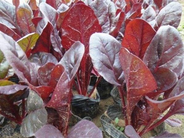红叶甜菜批发//红叶甜菜种植基地