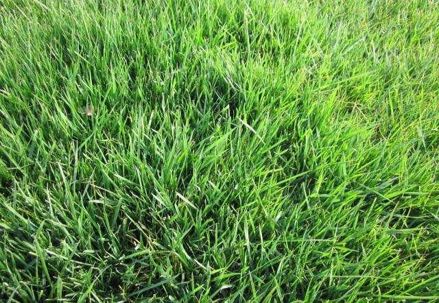 成都优良四季青护坡混播黑麦草种子供应,草坪种子混播四季青种子批发零售