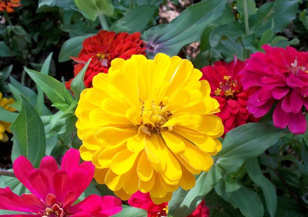 四川格桑花波斯菊百日草金盏菊种子-供应成都实惠的格桑花波斯菊百日草金盏菊种子