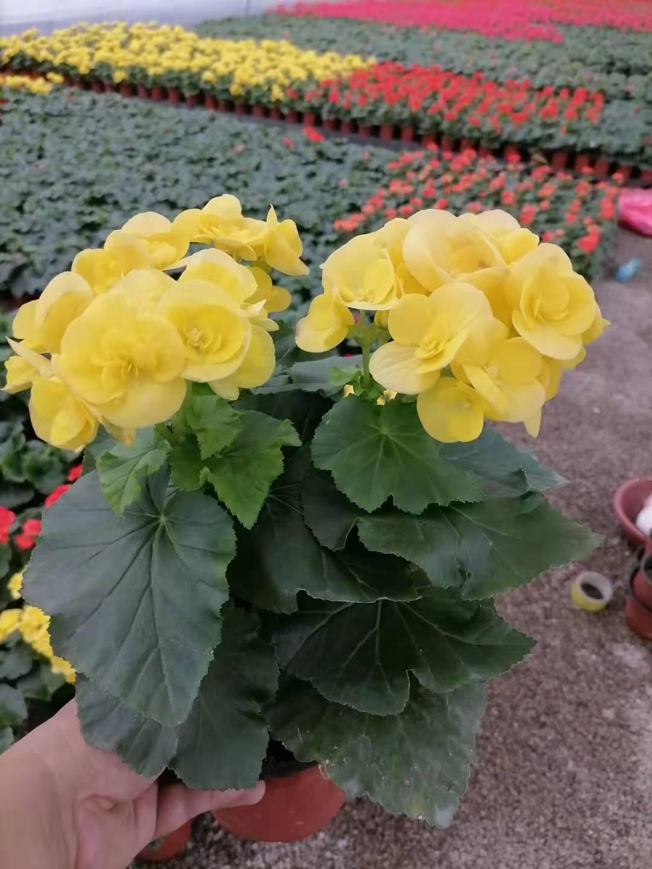 河北盆栽丽格海棠-供应潍坊新品丽格海棠